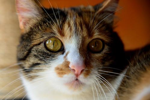 Jaspe, maravillosa tricolor de ojos cobrizos esterilizada nacida en Abril´11, necesita adopción. Valencia. ADOPTADA.  25588734213_df8c11080c