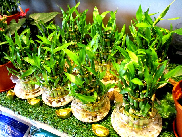 Green House CNY plants