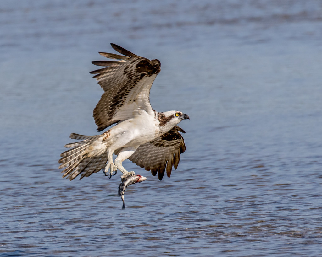 Osprey And Catch This Osprey And Sheepshead Were Photograp Flickr