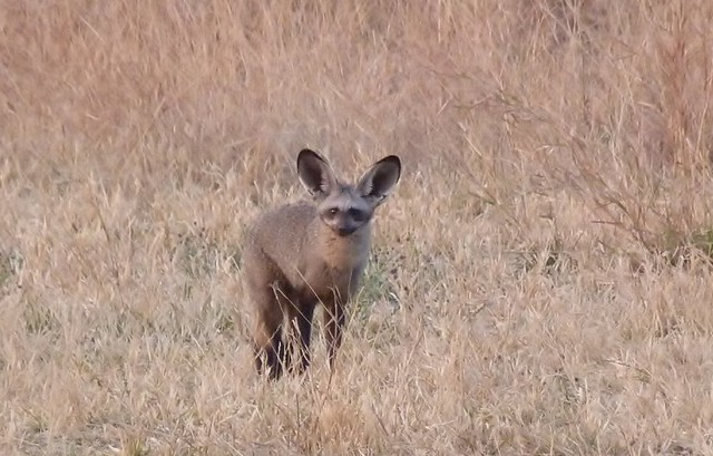 Zorro orejudo (Emblema de los Parques naturales de Botswana)
