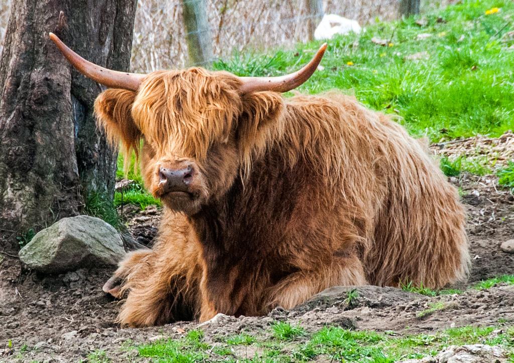 Scottish Highland Cattle at The Mohawk Bison Farm   Kevin ...