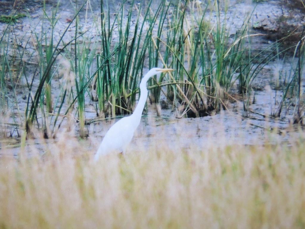 Img 6742 Great Egret Oak Hammock Marsh Maintoba Just