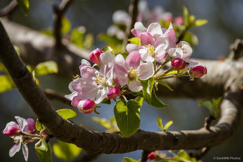 Ciruelos florecidos en primavera