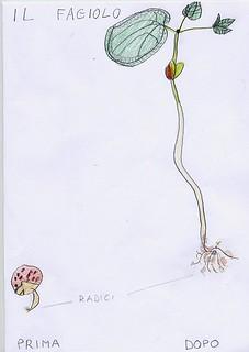 disegno del fagiolo prima e dopo