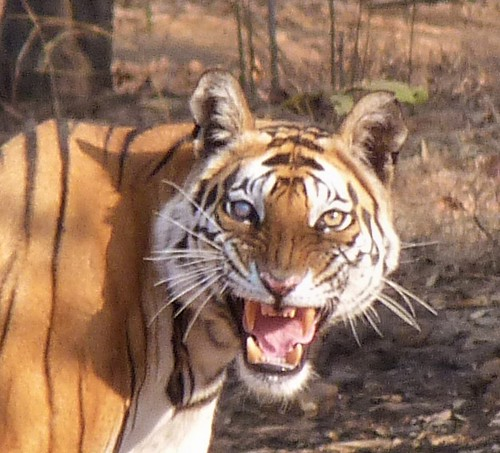 Rostro de tigre de Bengala avistado en Bandhavgarh (India)