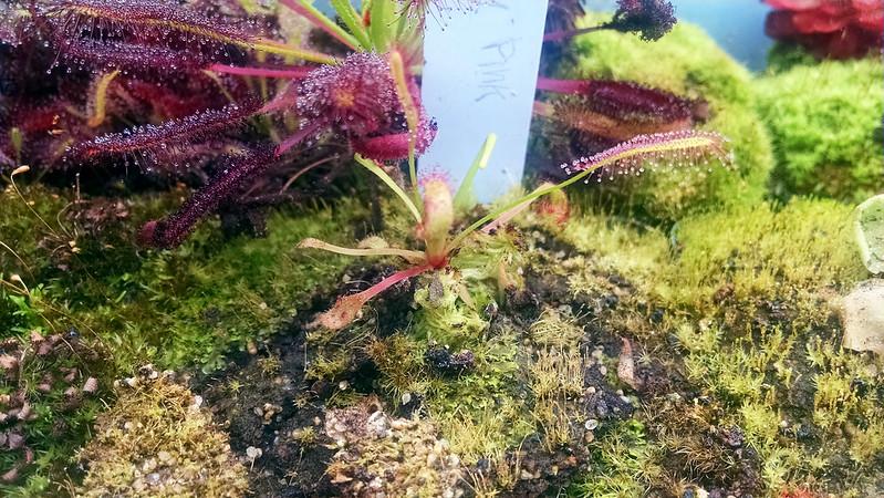 "Drosera capensis ""Big Pink."""