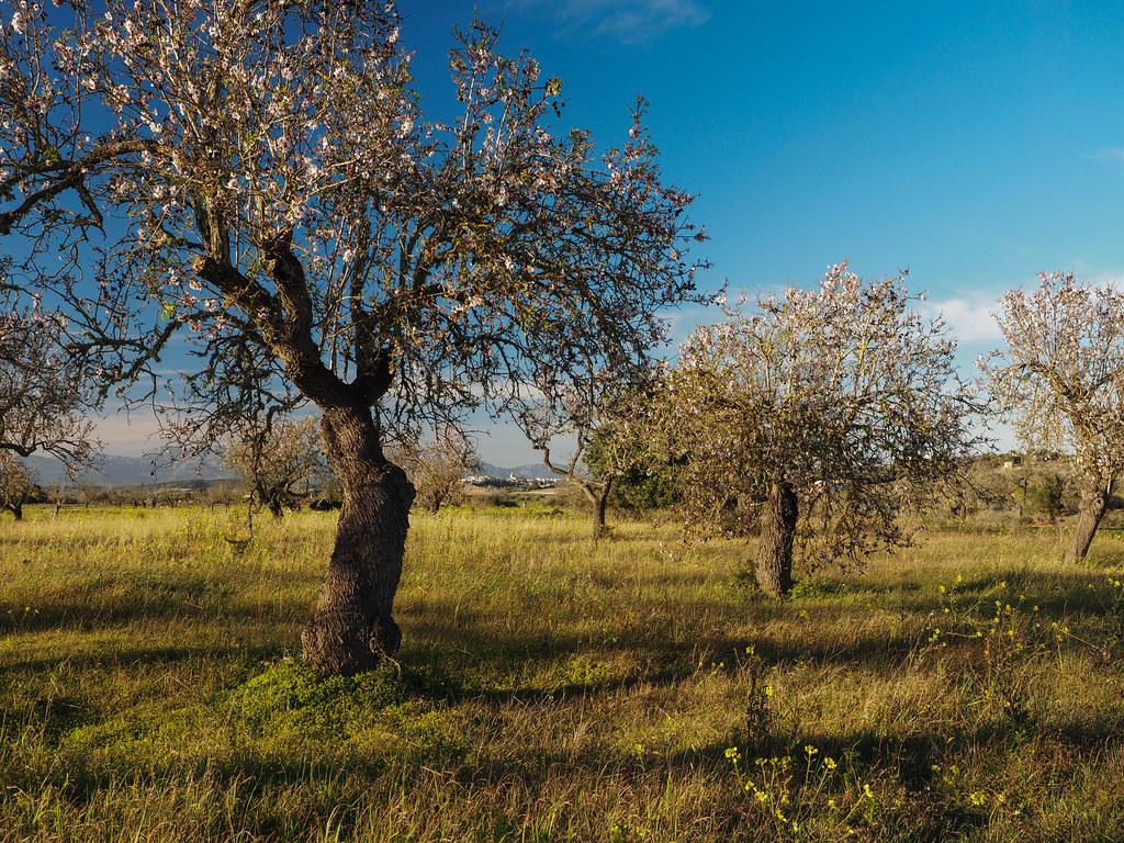 Mandelblüte bei Montuiri