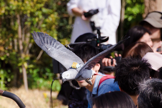 Female Grey Parrot, Teru in Flight! : ヨウムのテルの飛翔