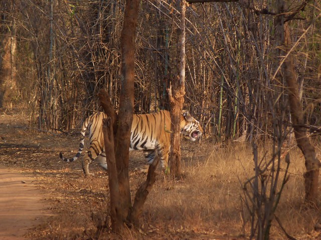 Tigre de Bengala en Bandhavgarh (Safari en India del Comando Piraña)
