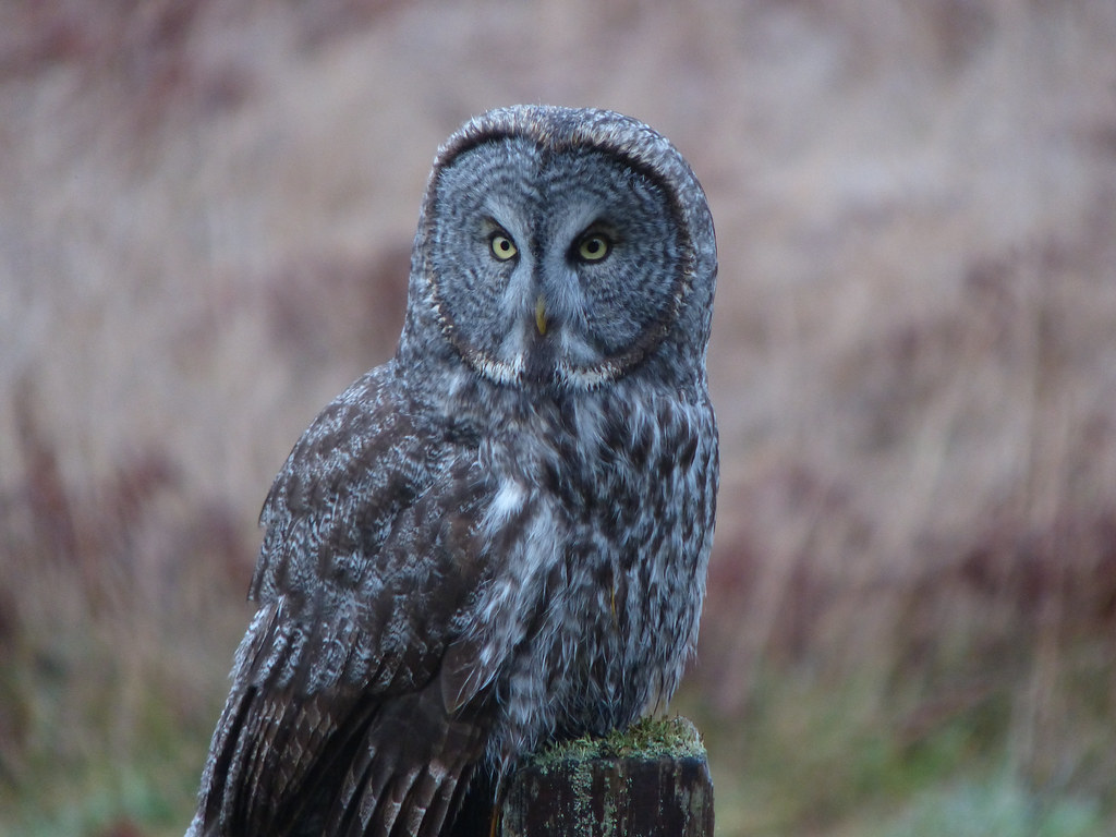 Great Gray Owl | On the endangered species list in ...
