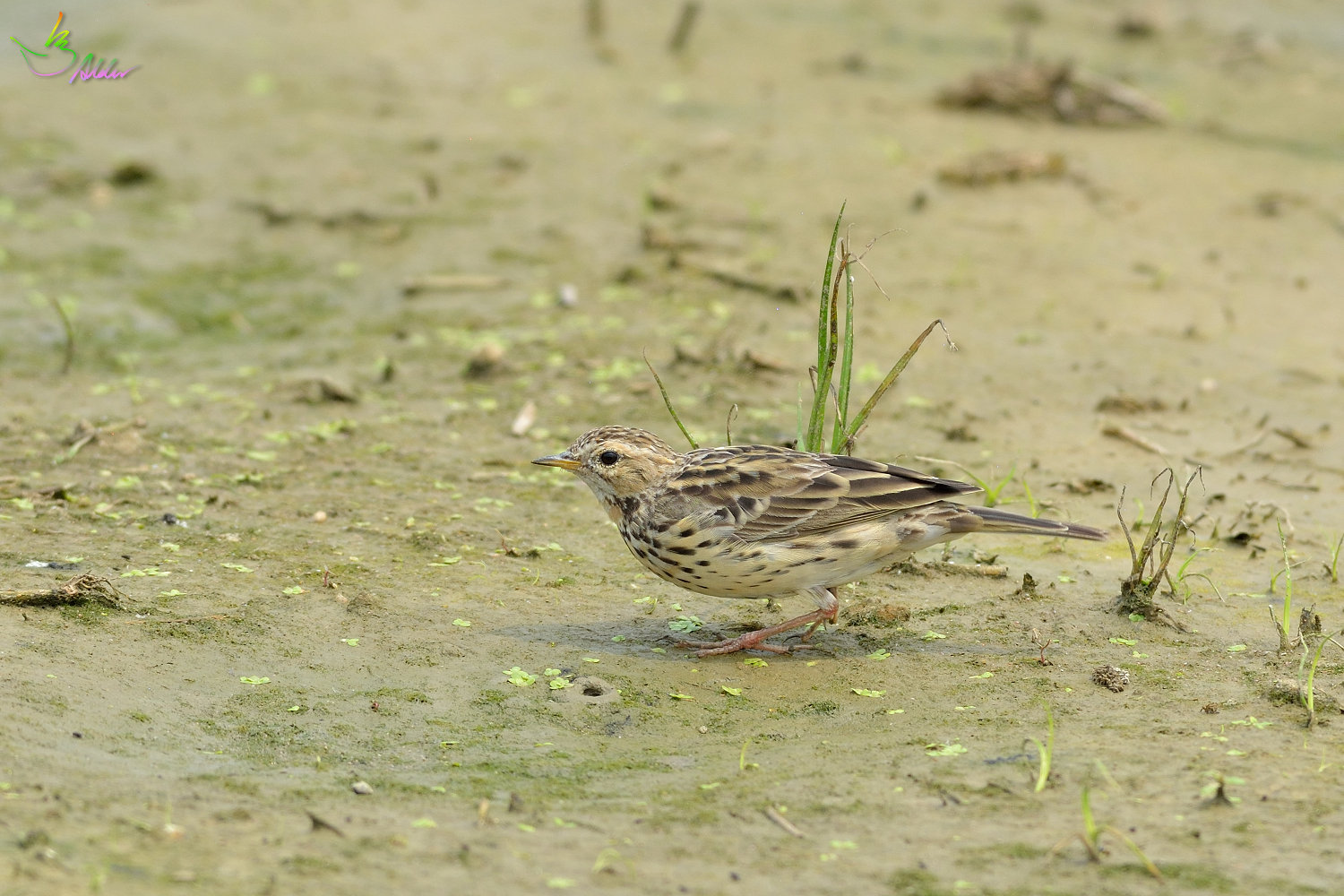 Red-throated_Pipit_3477