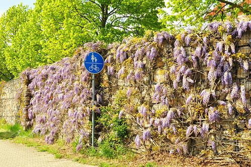 1. Mai 2016. Das Wetter ist schon am frühen Vormittag so schön sonnig (wenn auch noch ziemlich frisch), dass wir einen Spaziergang Richtung Felder machen. Der Blauregen an der Umgehungsstraße in Mannheim-Seckenheim blüht wie in jedem Jahr wunderschön. Die schottischen Hochlandrinder sind schon beim Frühstücken und die Rapsfelder leuchten in sattem Gelb. Foto Brigitte Stolle 1. Mail 2016