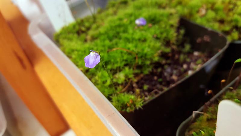 Utricularia lateriflora flower.