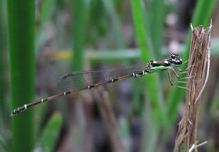 五股濕地和基隆河流域發現的瀕危物種「四斑細蟌」。攝影:賴榮孝