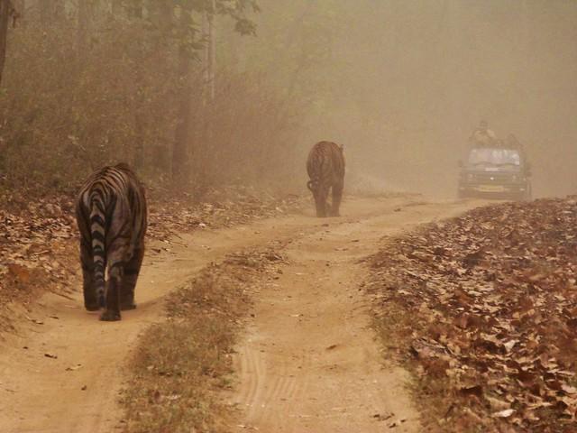 Dos tigres de Bengala (machos) caminando por Kanha (India)