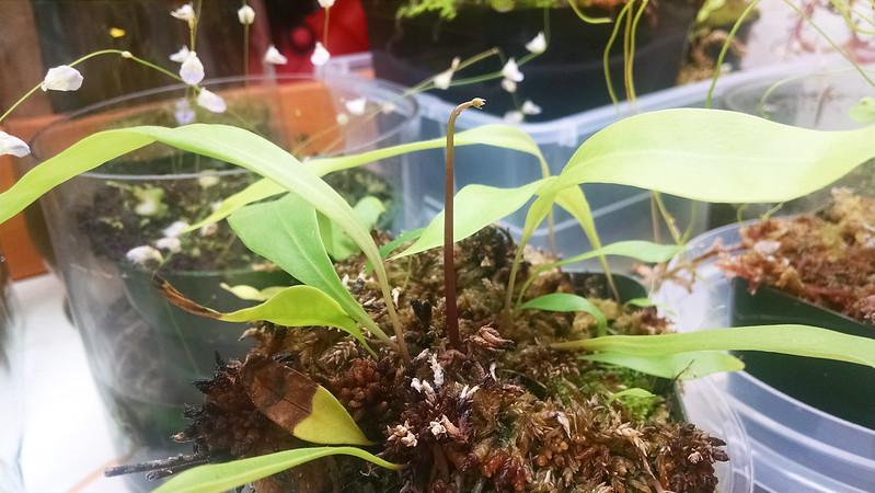 Utricularia longifolia flower spike.