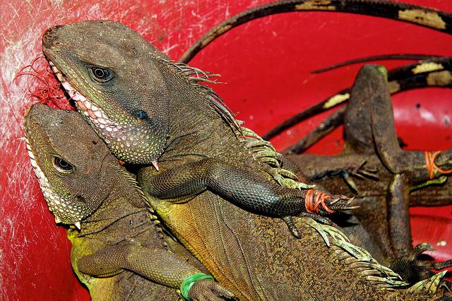寮國市場上出售的蜥蜴,四肢被綁住、嘴部被縫起來待價而沽。圖片來源:Mike Rowe(CC BY-NC 2.0)。Mike Rowe(CC BY-NC 2.0)