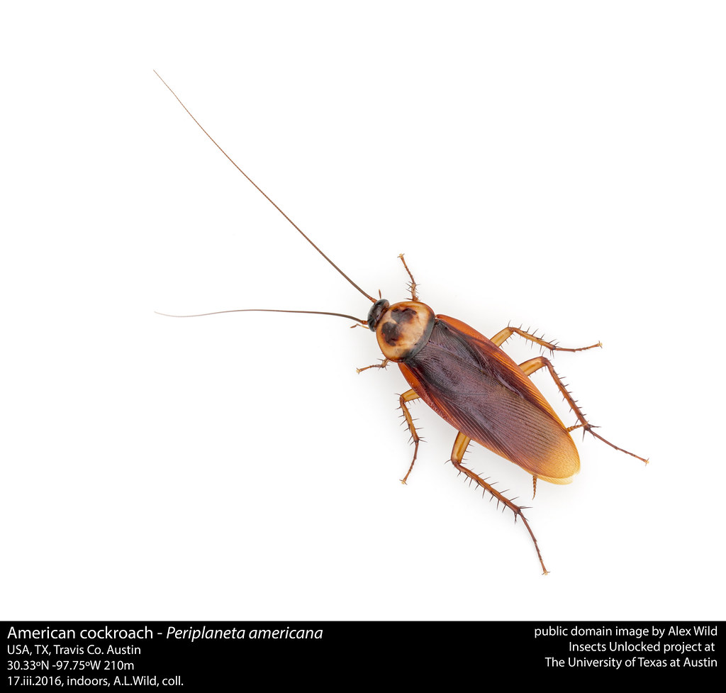 Periplaneta Americana American Cockroach American