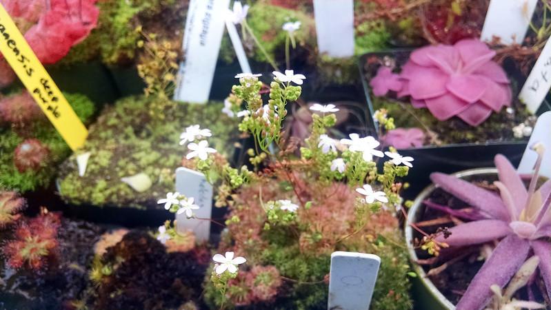 Drosera helodes × pulchella flowers.