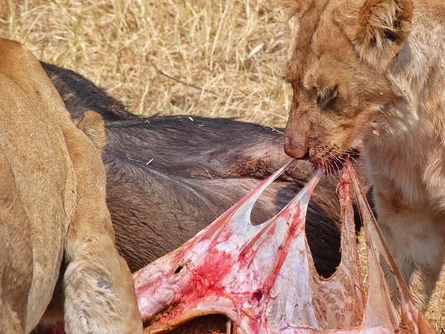 Leones comiéndose un búfalo en Botswana
