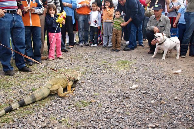 Bulldog and lizard, San Abad, Buenavista del Norte, Tenerife