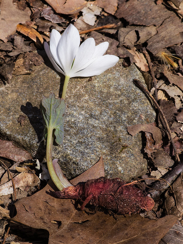 Blood Root plant