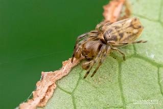 Orb weaver spider (Deione sp.) - DSC_7597