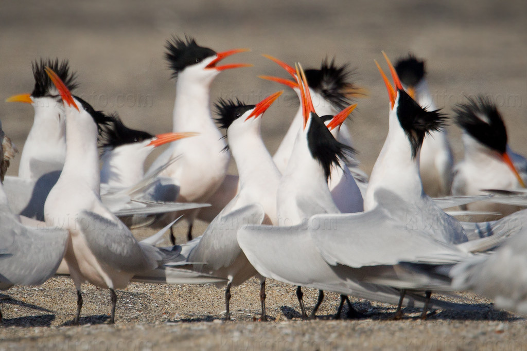 elegant tern vs royal tern