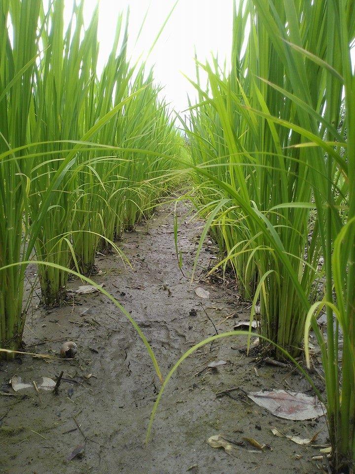 自然田的稻葉很漂亮
