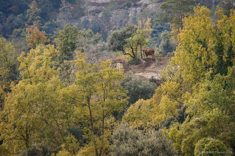 Vacas entre los árboles
