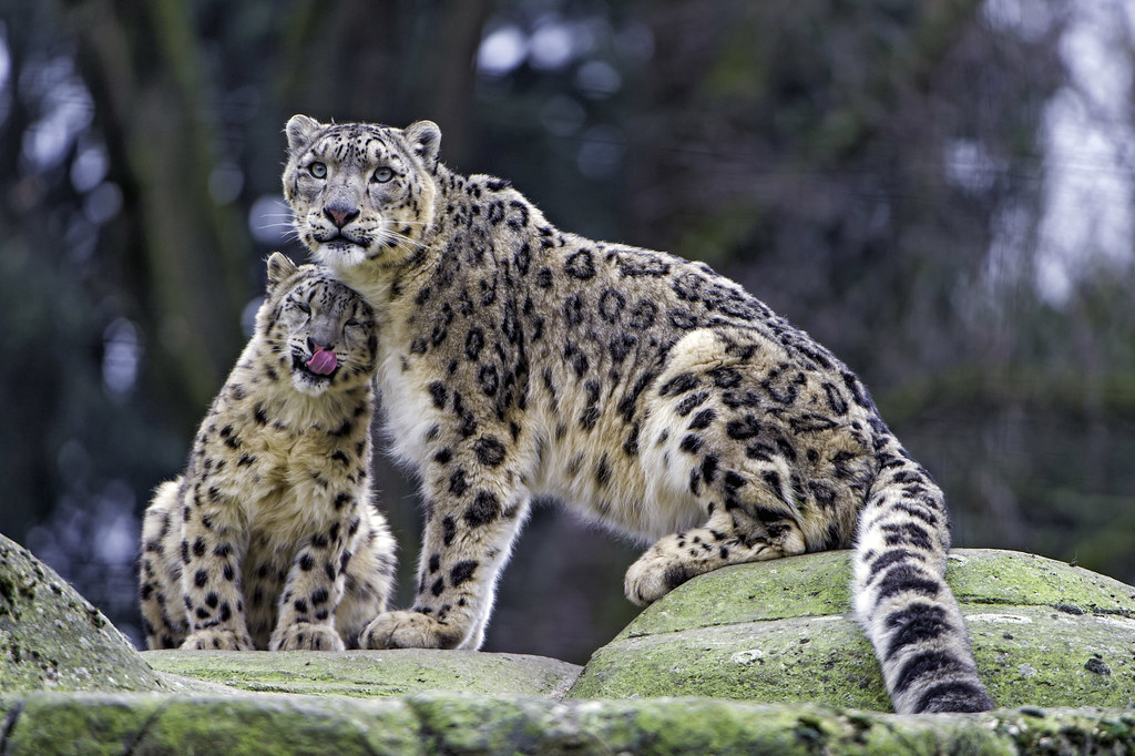 Loving his dad! | One of the snow leopard cubs showing his ...