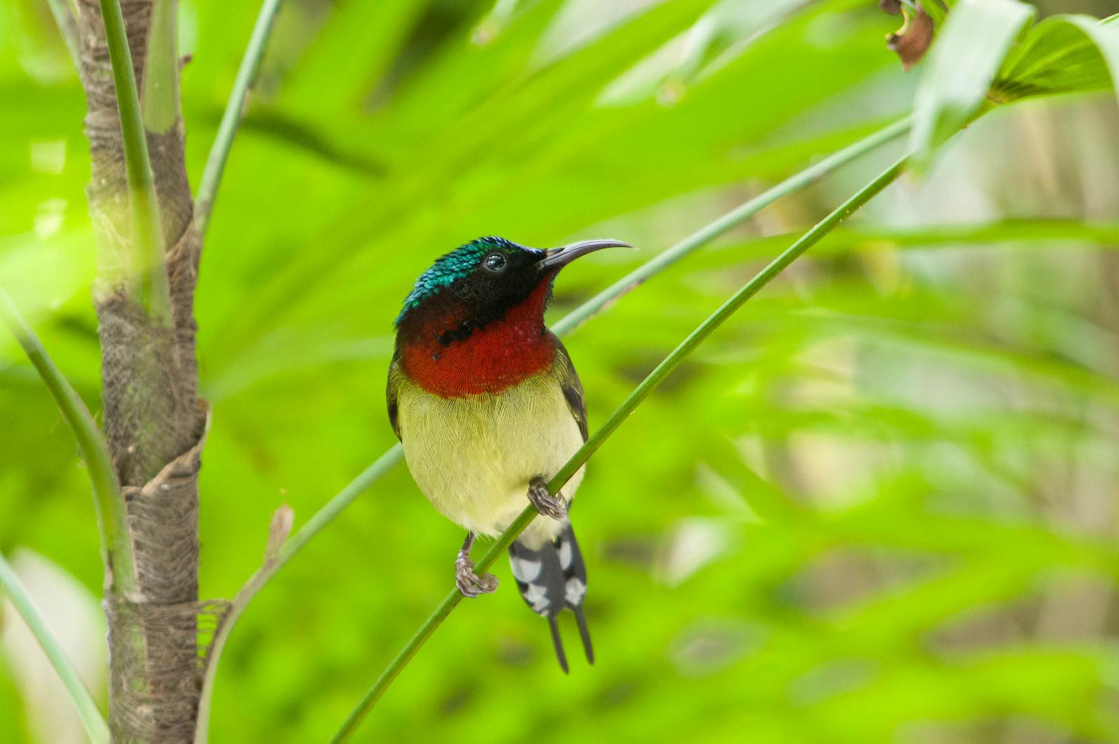 香港公園普鳥-太陽鳥