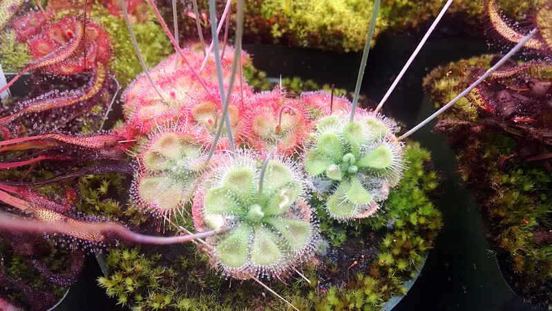 Drosera sessilifolia.