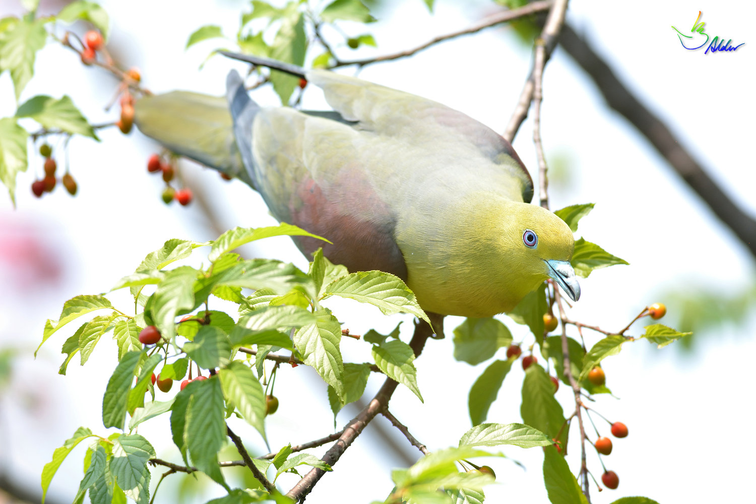 White-bellied_Green_Pigeon_5961