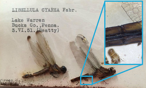 An example from our collection of old and inactive dermestid damage on two Libellula cyanea. Note the