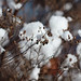 Snowball cotton fields.