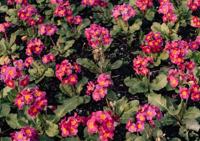 pink primroses