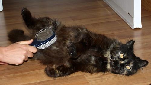 Indira, gata Carey cruce Persa de ojazos ocre esterilizada, mimosona, nacida en Agosto´12 en adopción. Valencia. ADOPTADA. 25825691663_01802ba052
