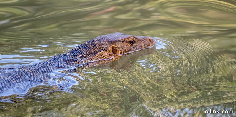 Asian water monitor lizard swimming in Lumpini park in Bangkok