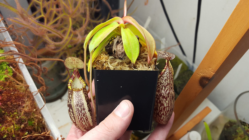 "Nepenthes spectabilis ""Giant""."