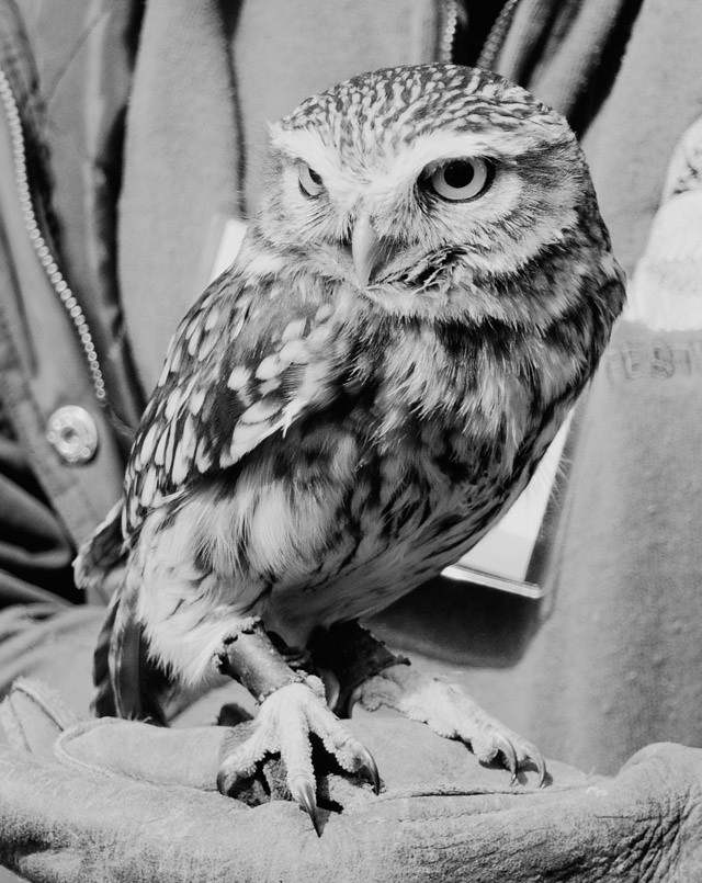 little owl in black and white