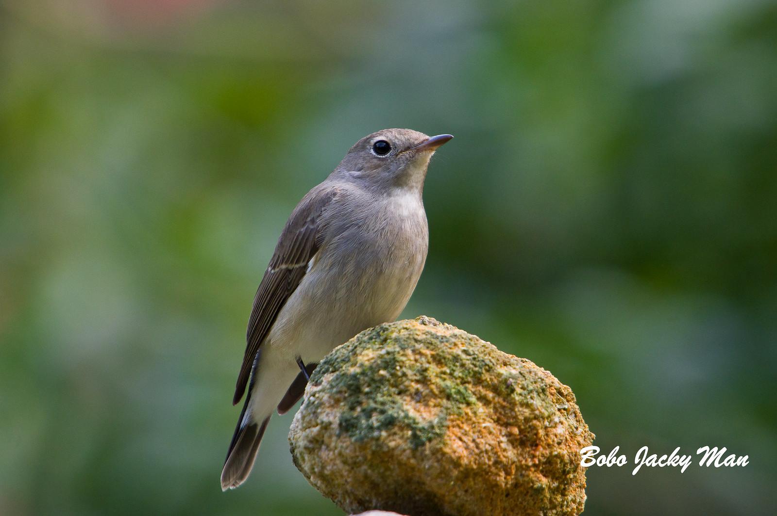 紅胸姬鶲母鳥首拍