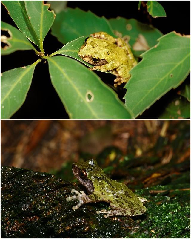 過去包括王氏樹蛙的三種蛙都視為艾氏樹蛙。