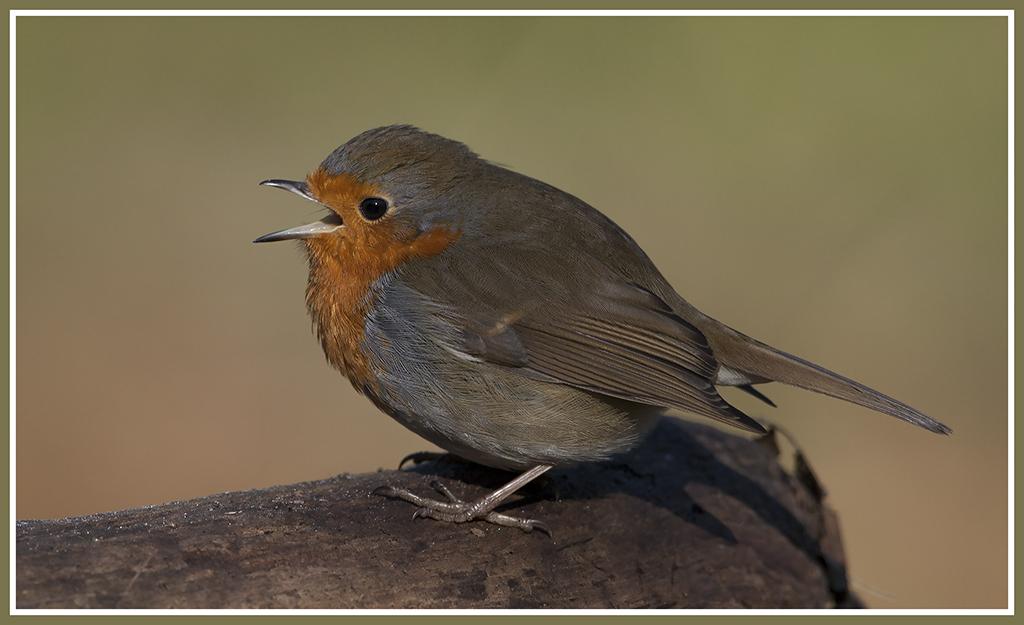 The European Robin 25257066241_1d007a0bed_b