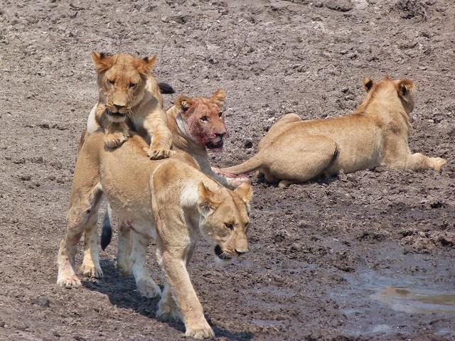 Leones jugando en el canal de Savuti (Botswana)