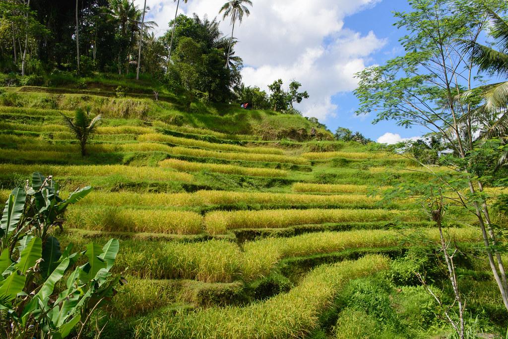 Ubud indonesia tegallalang rice terraces tegallalang for Terrace ubud bali