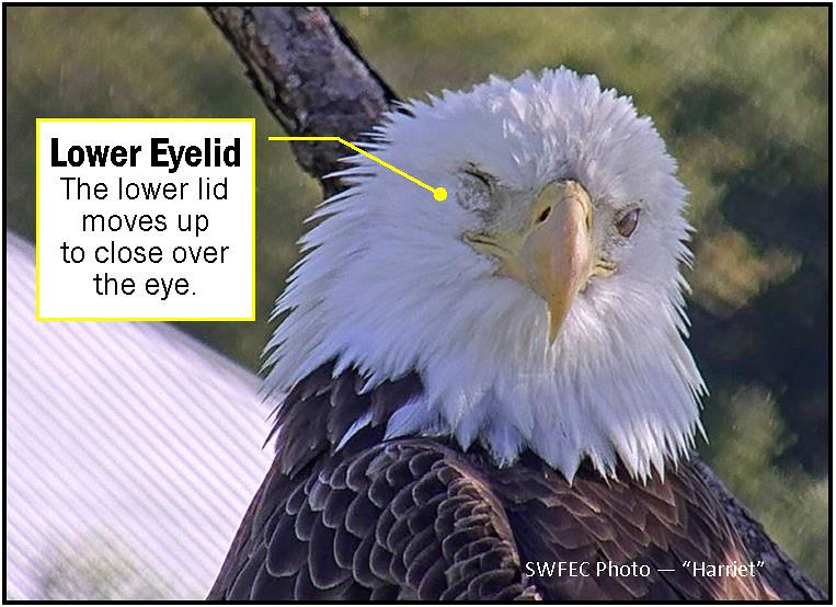 Swfl Eagle Cam >> SWFECLowerEyelid | The eagle has three eyelids. The top lid,… | Flickr