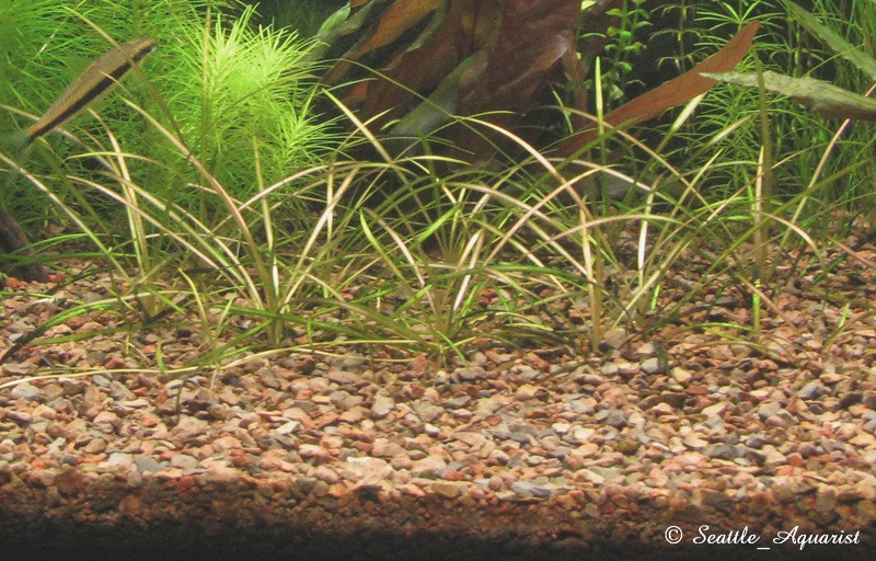 Light Requirements Hairgrass Vs Pygmy Chain Sword The