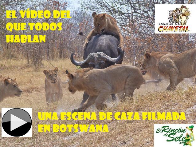 Leones cazan búfalo (el vídeo)