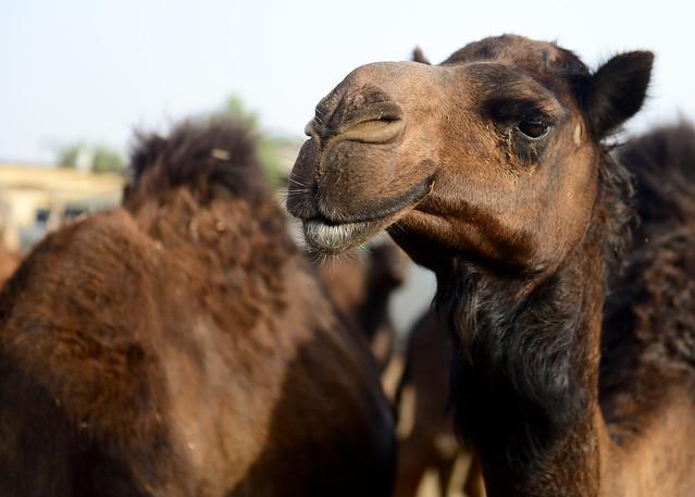 Granja de dromedarios del desierto de Abu Dhabi